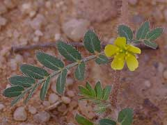 Tribulus Alatus – What's the Evidence?