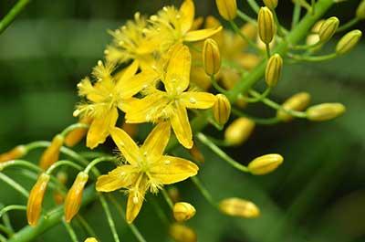 Bulbine Natalensis Herb