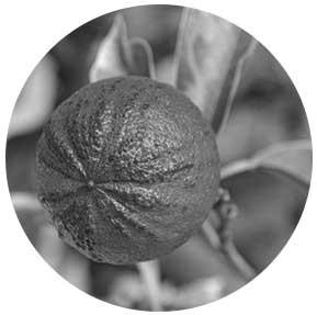 synephrine muscletronic citrus aurantium